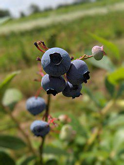 Blueberry, Farm, Fruit, Nature, Berry, Picking, Field