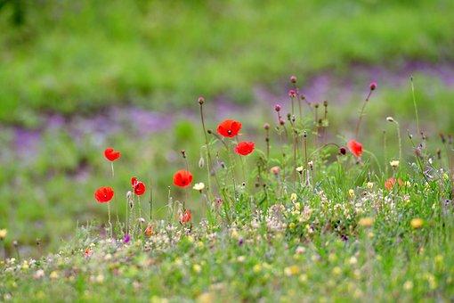 Poppies, Field Flowers, Flowers, Berm, Nature, Summer