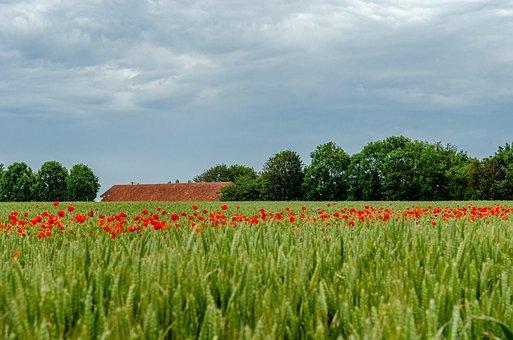 Flower, Poppy, Red, Nature, Spring, Fleuri, Fields