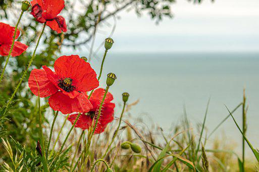 Flower, Poppy, Red, Nature, Spring, Fleuri