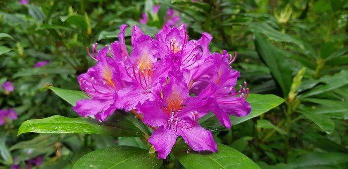 Flower, Rhododendron, Bloom, Garden, Nature, Leaves