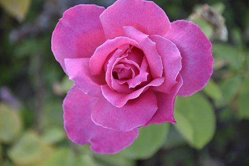Flower, Pink, Shrub, Pink Flower, Thorny, Nature, Plant