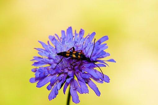 Strangalia Wysmukła, The Beetle, Flower