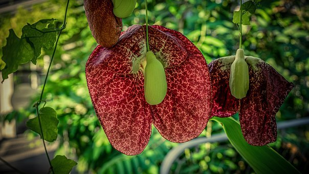 Tropical Plant, Tropics, Exotic, Blossom, Bloom, Flower