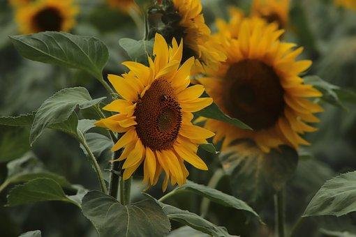 Sunflower, Agriculture, Flora, Summer, Flowers, Plant