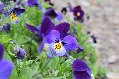 Flowers, Purple, Nature, Petals, Flora, Bright, Violet