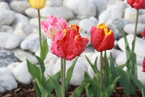 Tulips, Spring, Spring Flowers, Garden, Flowers