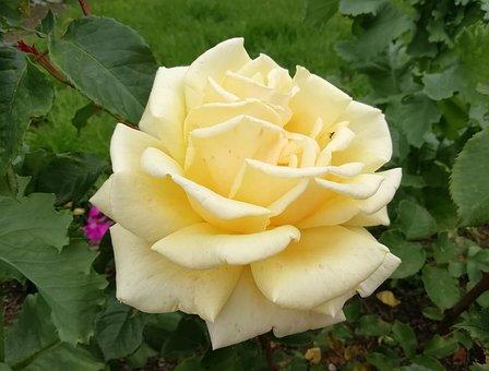 Rose, Yellow, Foliage, Tea, Leaf, Garden, Nature, Plant