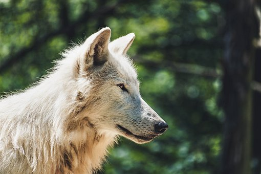 Wolf, Animal, Zoo, Animals, Nature, Forest, Landscape