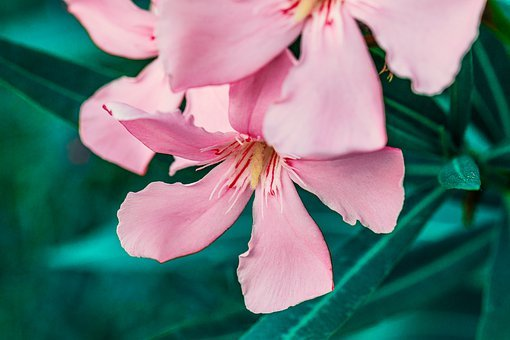 Oleander, Pink, Green, Flower, Flowers, Garden, Summer