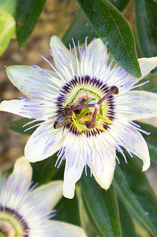 Passion, Passiflora, Flower, Garden, Passion Fruit