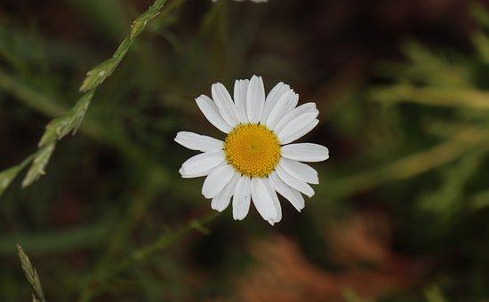 Summer, Garden, Grass, Small, Flower, Daisy, The Lonely