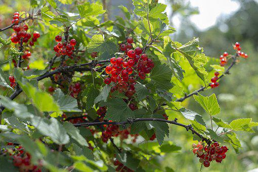 Berry, Summer, Freshness, Tasty, Health, Vitamins, Joy