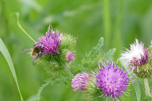 Thistle, Hummel, Insect, Blossom, Bloom, Summer, Pollen
