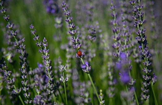 Ladybug, Lavender, Nature, Insect, Macro, Flower