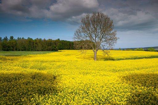 Rügen, Island, Oilseed Rape, Landscape, Spring, Yellow