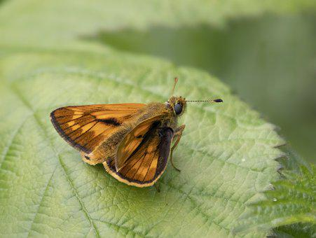 Large-skipper, Butterfly, Nature, Insect, Summer