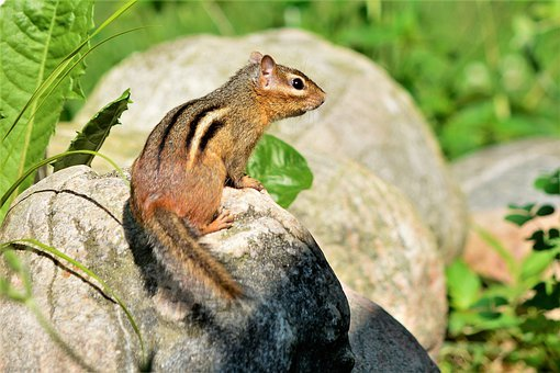 Chipmunk, Young, Cute, Furry, Little, Perched, Boulders