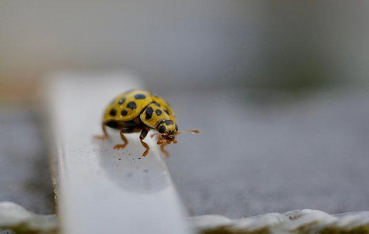 Beetle, Close Up, Insect, Animal World, Macro, Ladybug