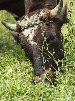 Bull, Cow, Pasture, Cattle, Horns, Farm, Grass, Mammal