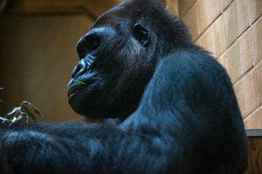 Silverback, Zoo, Gorilla, Monkey, Animal, Animal World