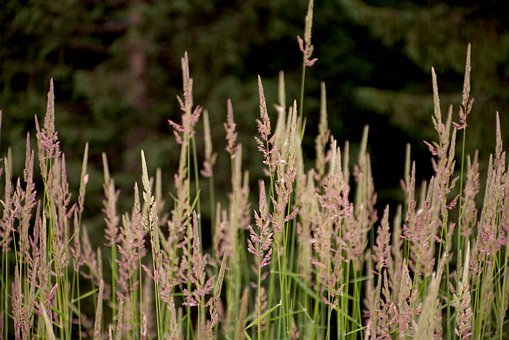 Grasses, Grass, Nature, Summer, Atmosphere, Plant