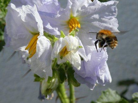 Approach, Bee, Hummel, Nature, Way Flowers, Close Up