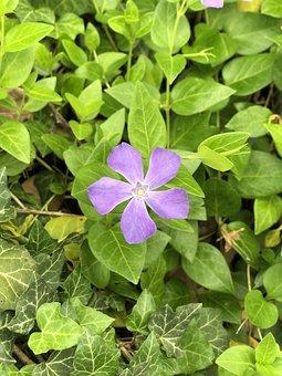 Single, Alone, Purple, Flower, Green, Leaves, Nature