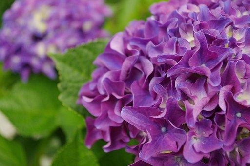 Hydrangea, Flower, Bloom, Blossom, Nature, Plant