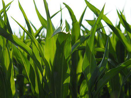 Corn, Leaves, Green, Field, Nature, Agriculture, Plant