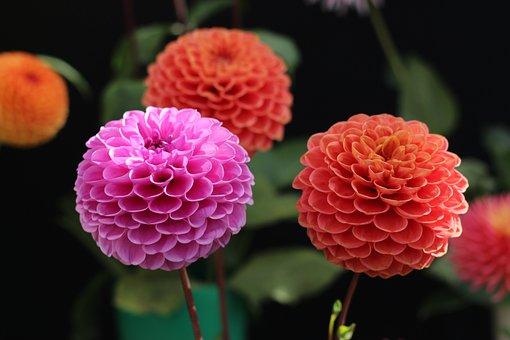 Dahlia Flowers, Flowers, Blossom, Plant, Garden, Nature