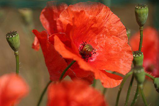 Summer, Flowers, Nature, Poppies, Red