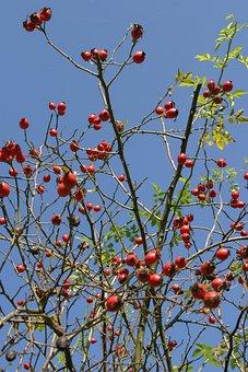Rose Hip, Autumn, Branch, Bush, Roses, Red, Nature