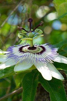 Passion, Passiflora, Flower, Garden, Passion Fruit
