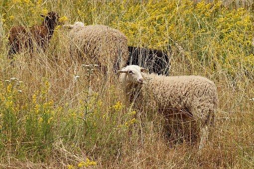 Sheep, Pets, Pasture, Meadow, Wool, Sheep's Wool