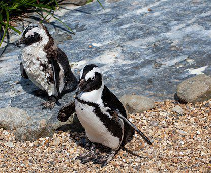 African Penguin, Penguin, Penguin On Beach