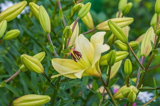 Flowers, Lily, Flower, Nature, Flora, Petals, Bloom