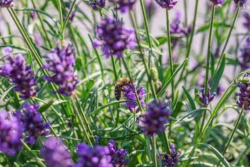 Bee, Lavender, Plant, Flower, Bug, Pollination, Pollen