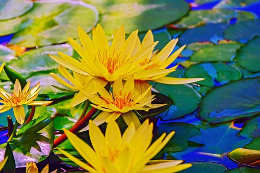 Water Lily, Nature, Pond, Water, Leaves, Blossom, Bloom