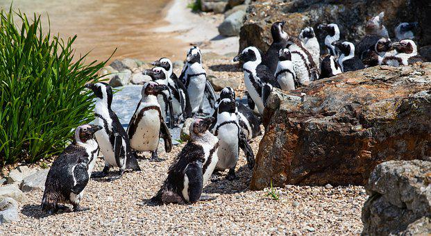 Raft Of Penguins, Group Of Penguins, African Penguin