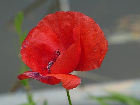 Poppy, Red Flower, Plant, Wild Plant