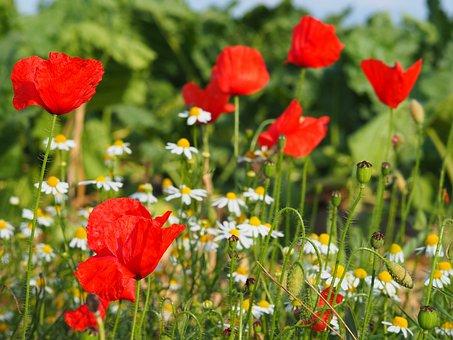 Chamomile, Poppy, Red, Nature, Poppy Flower
