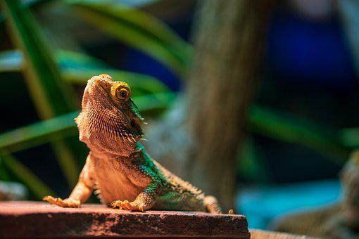 Lizard, Zoo, Reptile, Iguana, Close Up, Exotic