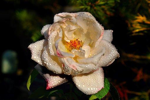 Rose, Roses, Blossom, Bloom, Rose Bloom, Flower, Plant