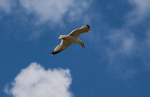 Flying Sea Gull, Gull, Sea Bird, Scavenger, Flying