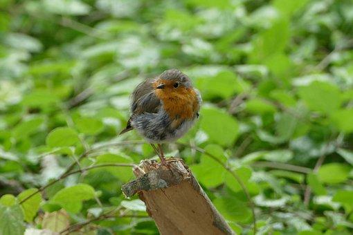 Robin, Garden, Songbird, Foraging, Small, Garden Bird