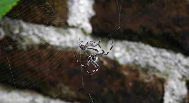 Macro, Insect, Arachnid, Spider, Sting, Guatica