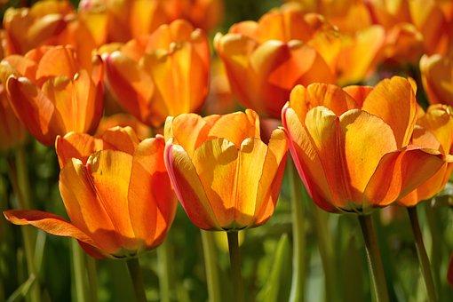 Tulips, Orange, Flower, Yellow, Glowing, Spring