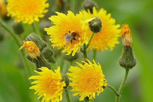 Hawkweed, Yellow, Blossom, Bloom, Bee, Petals, Summer