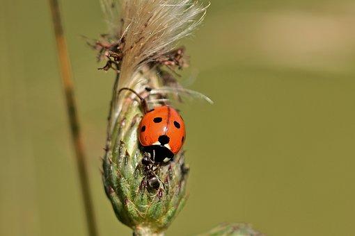 Ladybug, Ant, Thistle, Nature, Close Up
